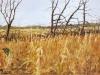 Rook's Field_unframed_dg