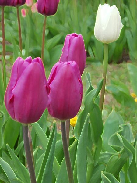 dg_tulips-of-queen-mab